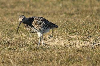 Großer Brachvogel  - in Deutschland gefährdet, in Frankreich begehrte Jagdbeute   -   Foto: A. Bürgener