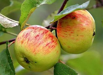 саженцы яблони сорт Коричное