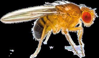 Biomüll sauber und hygienisch sammeln mit dem Tütle. Um keine Fruchtfliegen anzulocken, sollten keine Säfte und Essensreste offen rumstehen. Biomüll im Tütle sammeln und zum Beispiel mit Behältnissen von Sulo verschließen.