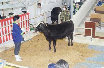 選りすぐりの1番牛を引き、高値取り引きをアピールする中山市長=八重山家畜市場