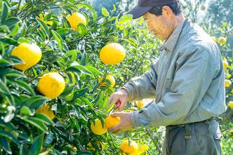 米神支部 柑橘部長の 広石計典さん