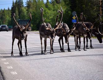 Rentiere beim Spazieren im Lappland