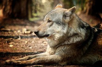 Wolf im Wald