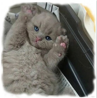 ブリティッシュ子猫の幼少期|画像