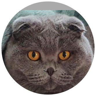 Scottish Fold Katze
