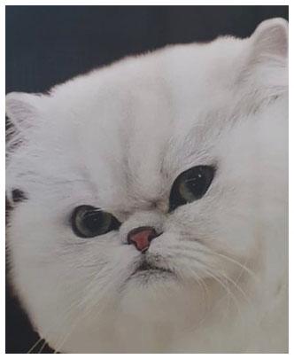 Katze mit deutlich sichtbarer Brachycephalie, Teilansicht vom Werbeplakat eines Berliner Katzenvereins, Foto: Iris