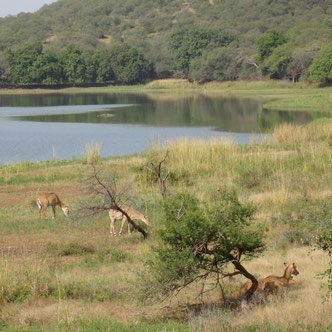 Ranthambore Tiger Nationalpark Rajasthan