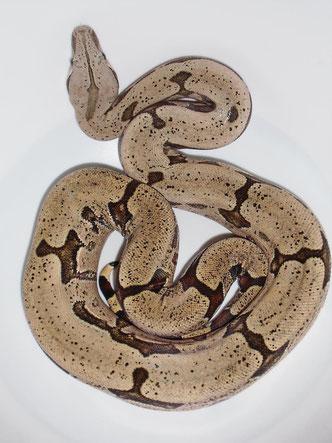 Boa c. amarali aus Bolivien. Die reduzierte Zeichnung vererbt sich co-Dominant