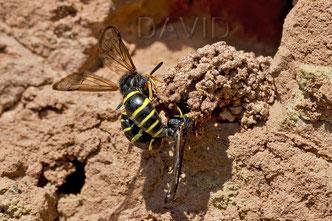 Schornsteinwespe Odynerus spinipes Insektennisthilfen Lehmwand