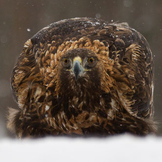 Steenarend, Golden Eagle