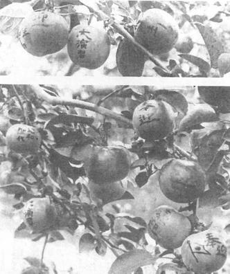 「大演習」「奉迎」と墨で書かれた平岸りんご(株式会社平岸会館50周年記念誌より)