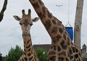 Giraffe, Zoo, Rapperswil, Kinderzoo