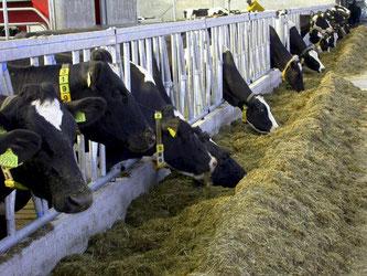 Kühe am Futtertrog. © jotily - stock.adobe.com
