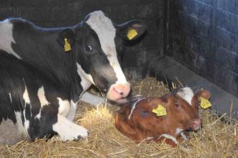 Mutterkuh mit Kalb. © ahavelaar - stock.adobe.com