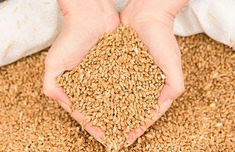 Eine Hand schöpft Getreidekörner aus einem Sack. © lupolucis - stock.adobe.com