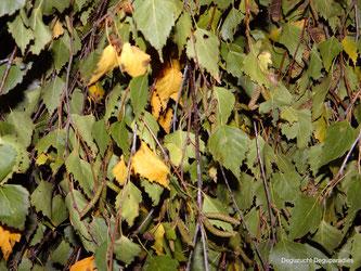 Birkenblätter mit Ästen