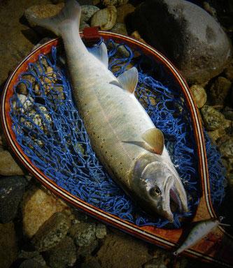 秋山女魚尺半強