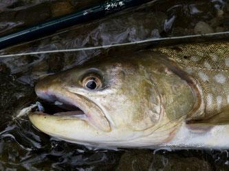 アメマスは大きくなってもどこかひょうきんに映る魚。下顎をとらえているフライパターンはCone。