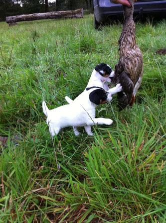 vom Glockenhof jagdlich geführt Welpen Zucht Zwinger PRT vom Glockenhof jagdlich geführte Parson Russell Terrier