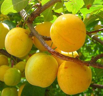 саженцы сливы желтая крупная в Клину