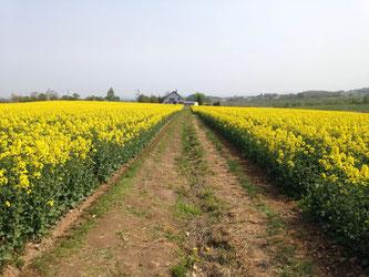 菜の花畑の中を歩けます!