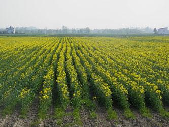 水田地帯にある菜の花畑です