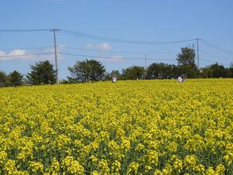 畑会場では菜の花畑の中を歩ける散策路があります。