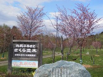 北辰の森の桜もきれいに咲いています