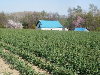 江部乙丘陵地は今が桜の見頃。桜と菜の花お楽しみください。