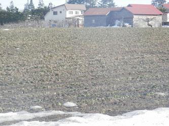 メイン会場の近くの菜の花畑です。