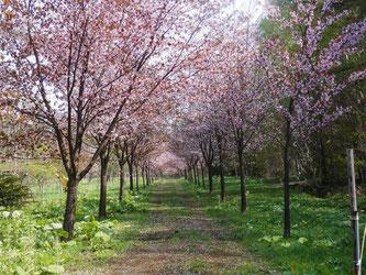 江部乙では今、桜も満開。こちらは桜のトンネルです。