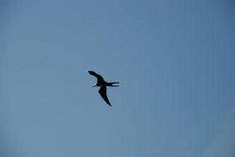 ein großer Fregattvogel und