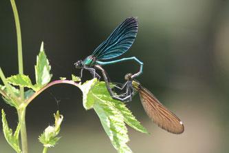 Blauflügel-Prachtlibelle, Paarungsrad