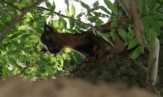 Juan-Fernandez Ziege auf Baum ©Ostseezeitung