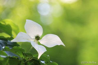 似た花:ヤマボウシ