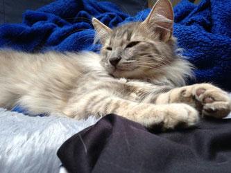 Basima von La-Lea-Lil, Norwegische Waldkatze, lightamber, 5 Monate alt