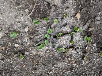 1週間前に種まきした 二十日大根