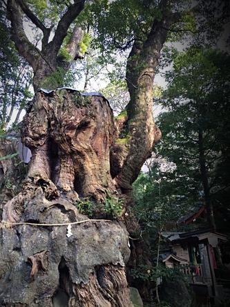 施術した日の深夜にメッセージとともに届いた大楠の画像。2000年の樹齢。逢いに行きたい。