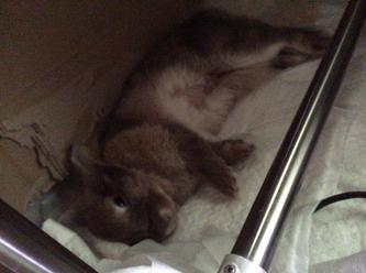 リラックスして寝そべるうさぎ