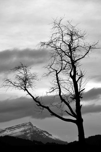 DER Baum und DIE Rigi