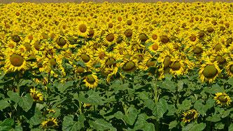 Sommer...Sonne...Sonnenblumen