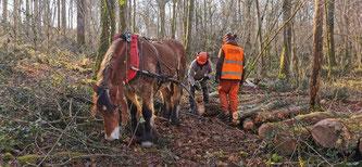 Un cheval de trait pas du tout stressé, la nature non plus ! c'est LA solution pour la forêt