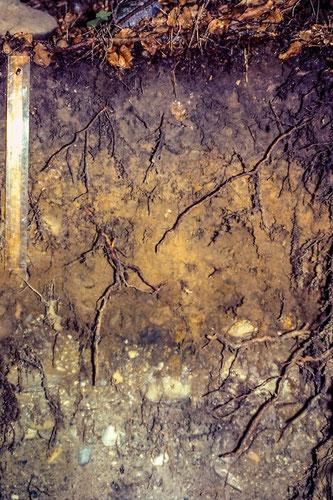 Bodenaufbau (von oben) Humus-Auflage, A-Horizont (humoser Oberboden), B-Horizont (lehmhaltiger brauner Boden), C-Horizont (angewittertes Ausgangsgestein)[© Foto: Dr. G. Strobel]