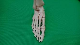 小倉北区の整骨院、サクマ整骨院の骨格模型