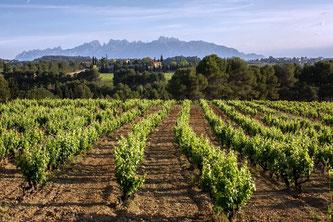 D.O.カヴァ新カテゴリー『カヴァ・デ・パラへ・カリフィカード』、ファースト・ヴィンテージの収穫開始 (www.vinetur.com)
