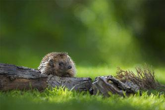 Igel überwintern gerne in Laub- und Reisighaufen (Foto: Andreas Bobanac/NABU)