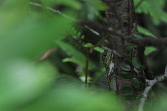よく目をこらすとキノボリトカゲがじーっと見つめていることが・・・