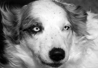 Maladies génétiques du chien