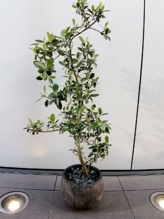 場所:中央区銀座  イメージ:お洒落、高級感  用途:開院御祝 観葉植物