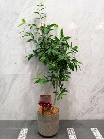 アマゾンオリーブ。オフィス移転お祝いの観葉植物。港区西麻布にお届け。